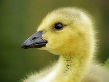 特写镜头婴孩加拿大鹅画象 免版税库存照片