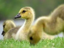 特写镜头婴孩加拿大鹅画象 库存图片