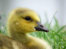 特写镜头婴孩加拿大鹅画象 免版税库存图片