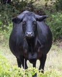 特写镜头黑安格斯母牛在俄克拉何马 免版税库存图片