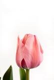 特写镜头宏观桃红色郁金香花被隔绝在白色背景 免版税库存照片