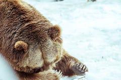特写镜头害羞的北美灰熊在与雪生活styleeat戏剧冷颤的冬天 图库摄影