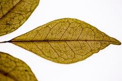 特写镜头干燥叶子 库存照片