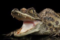 特写镜头幼小大鳄鱼鳄鱼,与张的嘴的爬行动物隔绝了黑色 免版税库存照片