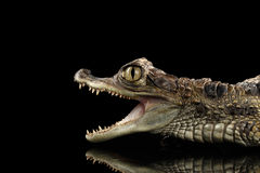 特写镜头幼小大鳄鱼鳄鱼,与张的嘴的爬行动物隔绝了黑色 库存图片