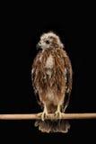 特写镜头幼小支持红的海老鹰 免版税图库摄影