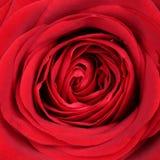 特写镜头开花在华伦泰的红色玫瑰和母亲节或者诞生 图库摄影