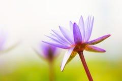 特写镜头开花的莲花 免版税库存照片