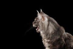 特写镜头恼怒的猫叫的缅因树狸猫,被打开的嘴被隔绝的黑色 免版税库存图片