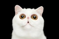 特写镜头惊奇的纯净的白色异乎寻常的猫头隔绝了黑背景 免版税库存图片