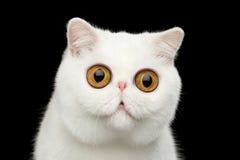 特写镜头惊奇的纯净的白色异乎寻常的猫头隔绝了黑背景 免版税库存照片