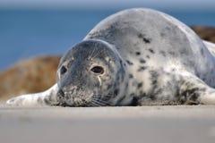 特写镜头斑海豹 免版税库存照片