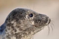 特写镜头斑海豹 库存照片