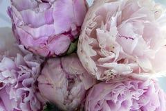 特写镜头新束桃红色牡丹,牡丹开花 卡片,婚姻的 免版税库存照片