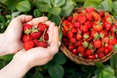 特写镜头新鲜的草莓 女孩在手上的拿着草莓在背景篮子用莓果 图库摄影