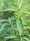 特写镜头新鲜的绿色草本叫Indian Echinacea或Kariyat ( 库存照片