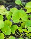 特写镜头新鲜的绿色草本告诉了Asiatic Pennywort或印地安penn 免版税库存图片