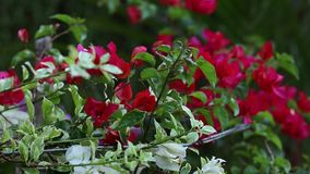 特写镜头明亮的红色花在户外亚洲公园 巴厘岛印度尼西亚 美好的五颜六色的背景 风是 影视素材