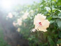 特写镜头木槿花丝毫透镜火光作用 免版税库存图片