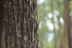 特写镜头杉树在森林里 免版税库存照片