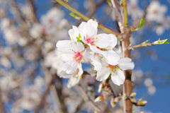 杏树开花的束 免版税图库摄影