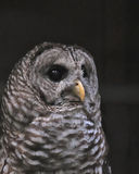 特写镜头条纹猫头鹰 免版税图库摄影