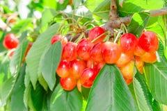 特写镜头树枝用更加多雨的白色樱桃莓果 库存照片