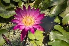 特写镜头桃红色莲花在池塘 免版税库存图片