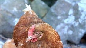 特写镜头棕色鸡母鸡 股票录像