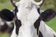特写镜头母牛画象 免版税库存照片