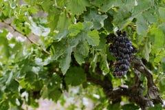 特写镜头每束黑暗的葡萄,希腊 免版税库存图片