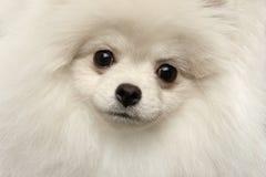 特写镜头毛茸的逗人喜爱的白色Pomeranian波美丝毛狗狗滑稽看,被隔绝 库存照片