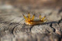 特写镜头毛虫在干燥木头的太阳浴在森林里 库存图片