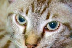 特写镜头泰国雄猫的面孔 免版税库存照片
