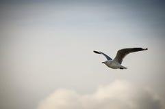 特写镜头海鸥一张美丽的画象在天堂放,新西兰 免版税库存照片