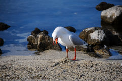 特写镜头海鸥一张美丽的画象在天堂放,新西兰 免版税库存图片