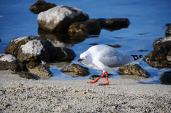特写镜头海鸥一张美丽的画象在天堂放,新西兰 图库摄影