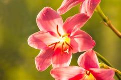 特写镜头深度花小粉红色的锋利 库存照片