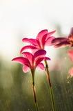 特写镜头深度花小粉红色的锋利 免版税库存照片
