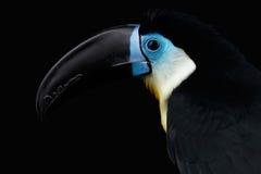 特写镜头渠道发单了Toucan, Ramphastos vitellinus,隔绝在黑色 免版税库存图片
