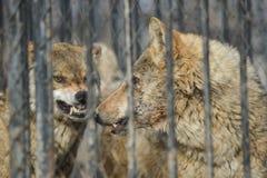 特写镜头灰狼与看从金属丝网晴天的黄色眼睛室外 免版税库存照片