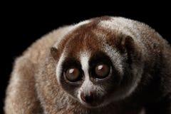 特写镜头狐猴缓慢的Loris黑色背景 免版税图库摄影