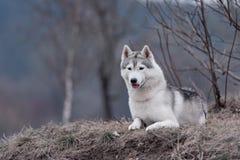 特写镜头狗西伯利亚爱斯基摩人的画象 免版税图库摄影