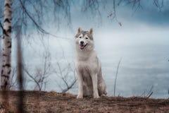 特写镜头狗西伯利亚爱斯基摩人的画象 库存照片