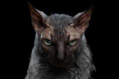 特写镜头狼人Sphynx猫恼怒看在照相机黑色 库存图片