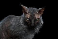 特写镜头狼人Sphynx猫恼怒看在照相机黑色 库存照片