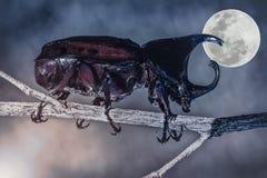 特写镜头现实热带甲虫在充分的一个分支栖息 图库摄影