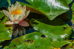 特写镜头用花装饰waterlily 库存图片