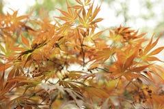 特写镜头留下槭树春天 图库摄影