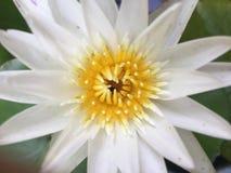 特写镜头白色和黄色莲花 免版税库存照片